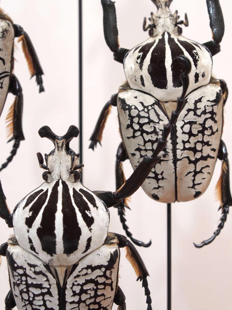 Specimen Beetles Under Glass Dome 4