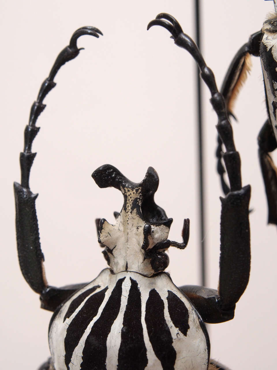 Specimen Beetles Under Glass Dome 5