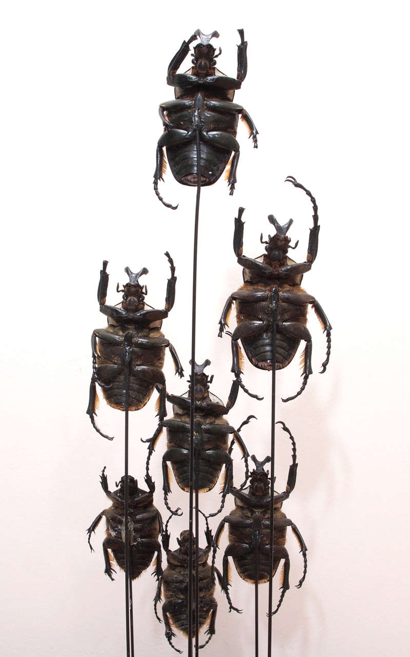 Specimen Beetles Under Glass Dome 8