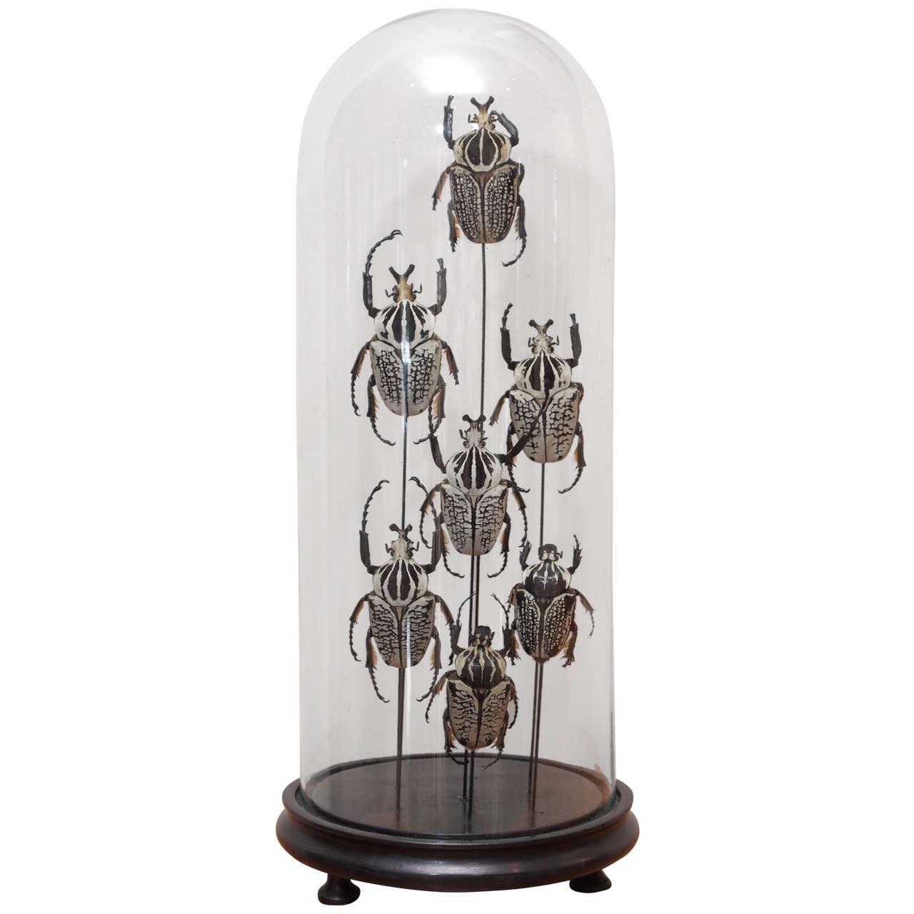 Specimen Beetles Under Glass Dome 1