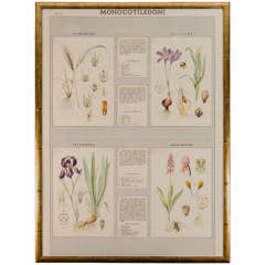 Early 20th Century Italian Botanical Print