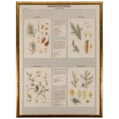 Early 20th Century Italian Botanical Print