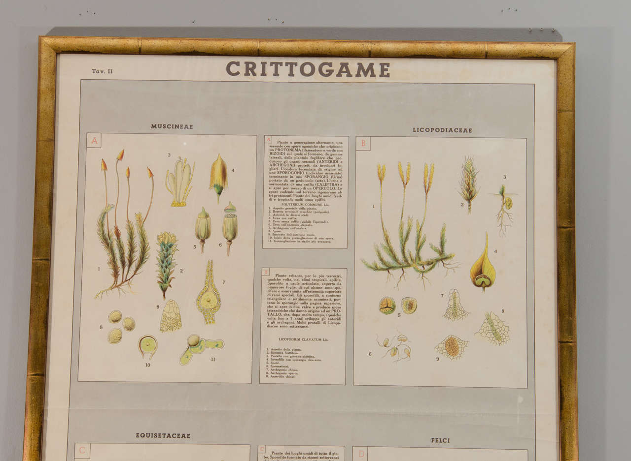 Early 20th Century Italian Botanical Print In Excellent Condition For Sale In New York, NY