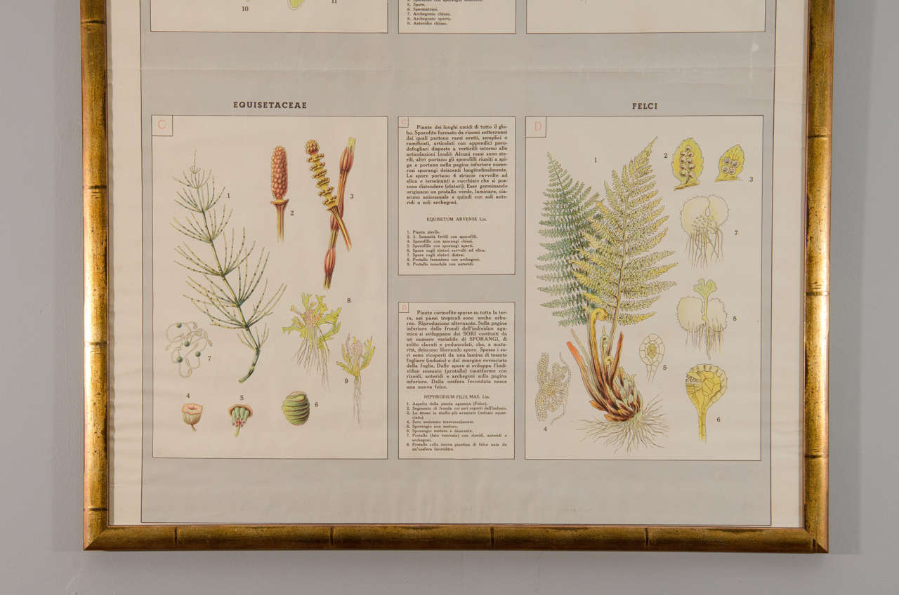 Paper Early 20th Century Italian Botanical Print For Sale