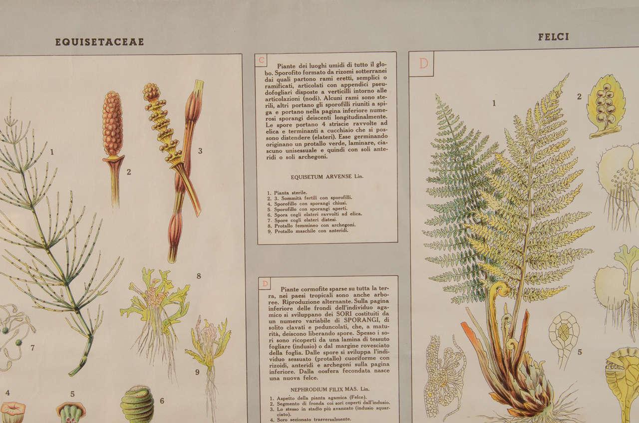 Early 20th Century Italian Botanical Print For Sale 2