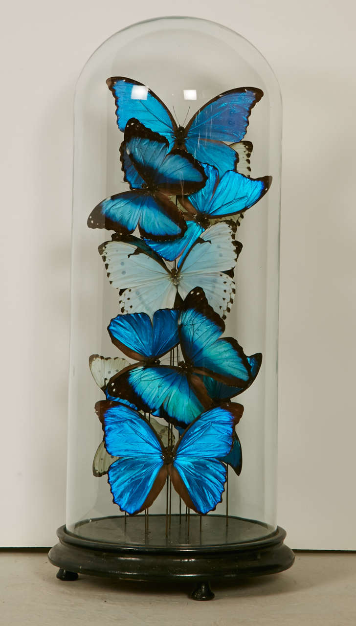 Collection Of Mixed Morpho Butterflies Under A Glass Dome