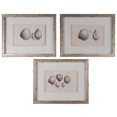 Set of 3 19th Century Black and White Seashell Engravings