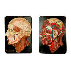 Pair of early 3D Human Head Biology Models