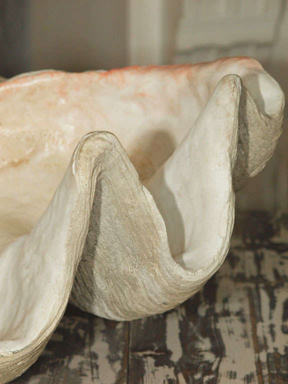 Giant Clam Shell 5