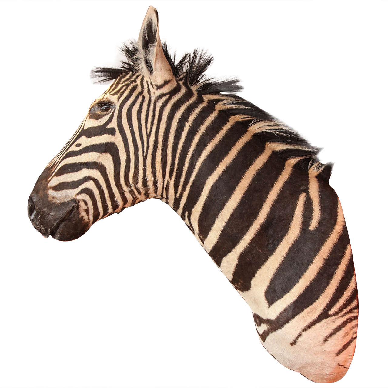 Taxidermy, Zebra