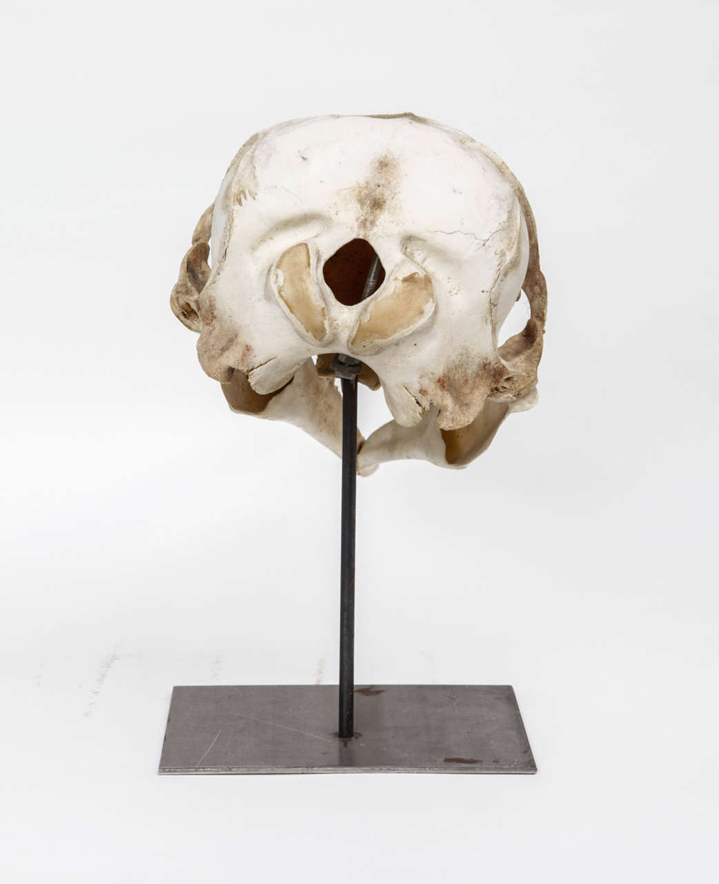 Dolphin Skull For Sale At 1stdibs