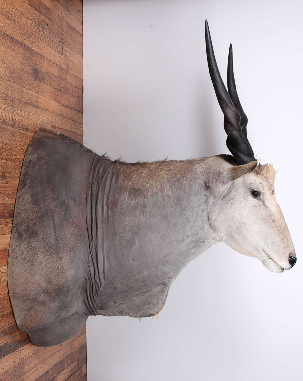 Impressive East African eland taxidermy shoulder mount. Upright, forward mount. Great coloring and taxidermy in excellent condition. This can be seen at our 2420 Broadway location on the upper west side in Manhattan.