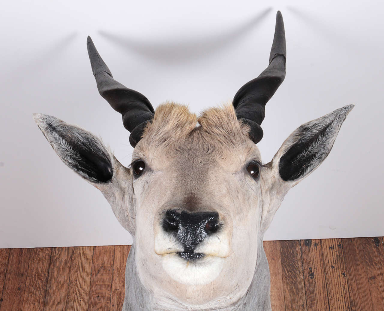 South African African Eland Taxidermy Shoulder Mount For Sale