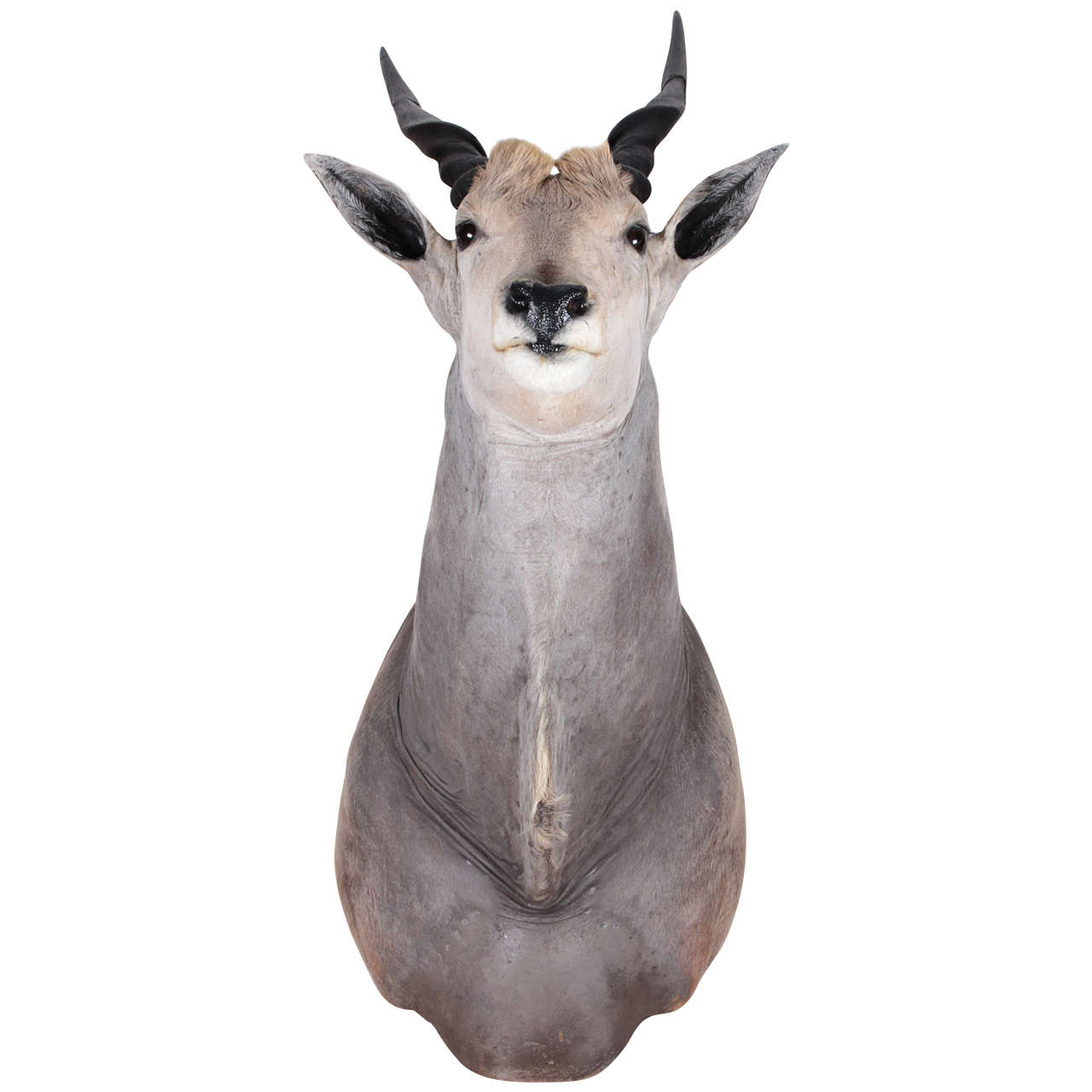 African Eland Taxidermy Shoulder Mount
