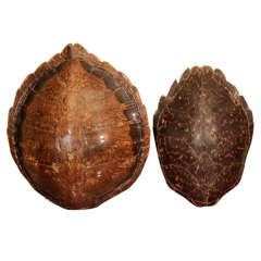A Set of Two Large Tortoiseshell's