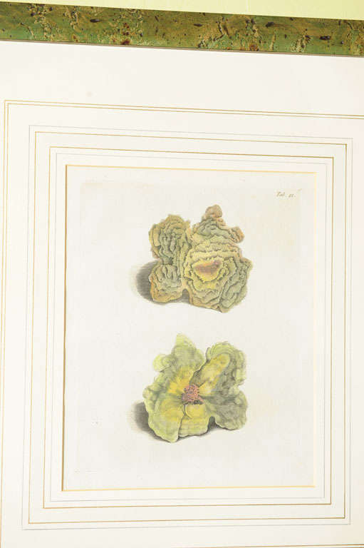 Etched Six Hand Colored Coral Engravings in Burl Wood Frames For Sale