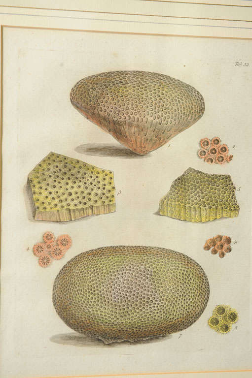 Six Hand Colored Coral Engravings in Burl Wood Frames For Sale 3