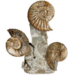 Triple Ammonite Cluster
