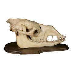 A Camel Skull