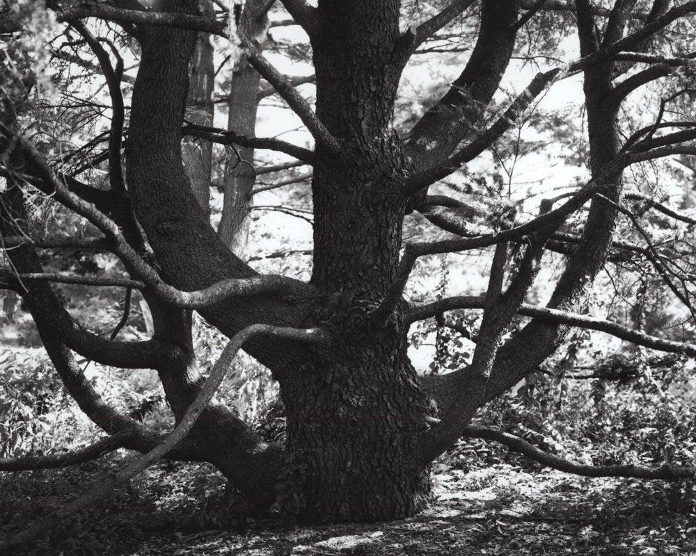 Jose Picayo Still-Life Photograph - Cedrus Libani ssp Atlantica Glauca - Blue  Atlas Cedar #2
