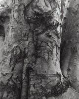 Fagus Sylvatica - European Beech detail