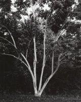 Heptacodium miconioides - Seven-Son Flower