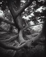 Magnolia kobus #3
