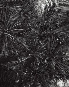 Pinus koraiensis Morris blue Morris Blue Korean Pine