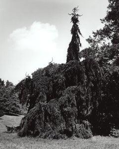 Picea abies Pendula 2 - Pendula Weeping Norway Spruce