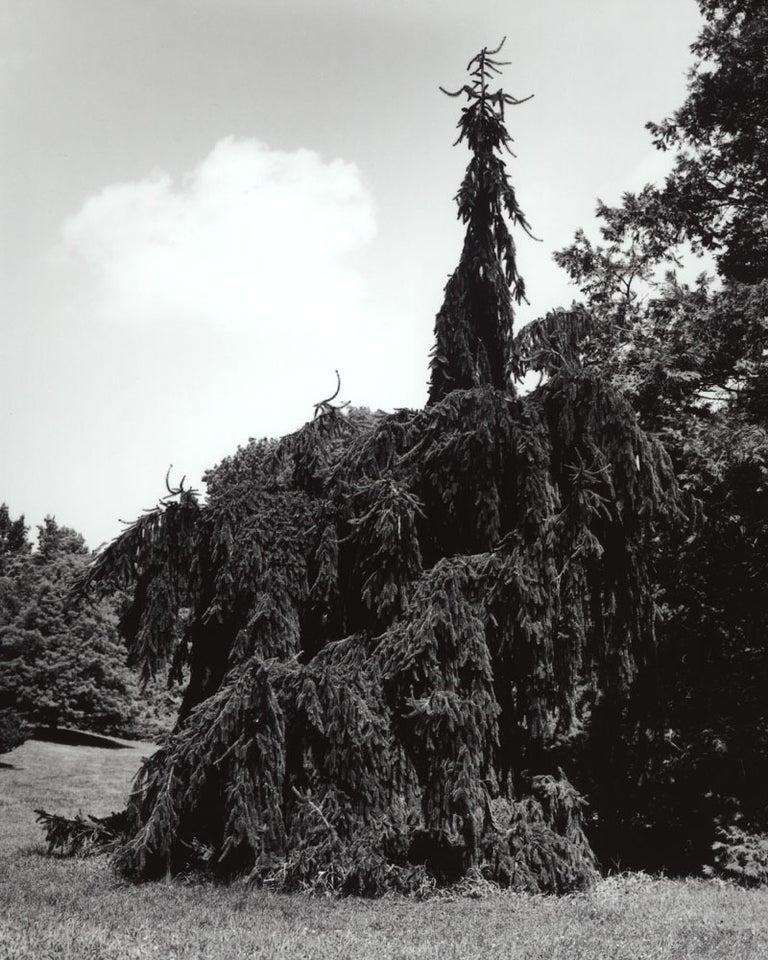 Jose Picayo Still-Life Photograph - Picea abies Pendula 2 - Pendula Weeping Norway Spruce