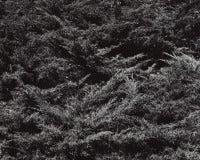 Juniperus chinensis pfitzeriana 2 - Pfitzer Juniper