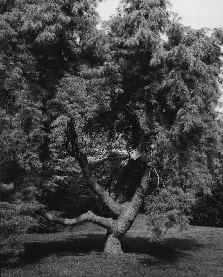 Jose Picayo Black and White Photograph - Pinus stobus pendula - Weeping White Pine