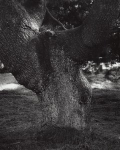 Pidetail nus stobus pendula - Weeping White Pine