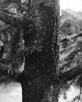 Pseudolarix japonica
