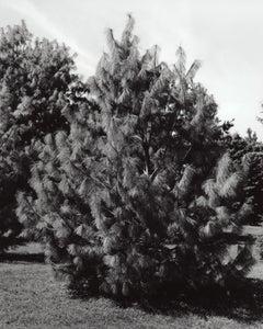 Pinus wallichiana Oculus 'Draconis' - Dragons Eye Pine