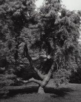 Pinus stobus pendula - Weeping White Pine