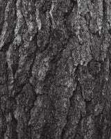 Pinus Thunbergii - Japanese Black Pine