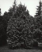 Chamaecyparis nootkatensis Pendula - Weeping Alaskan Yellow Cedar