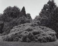 Tsuga canadensis 'Pendula' - Weeping Hemlock