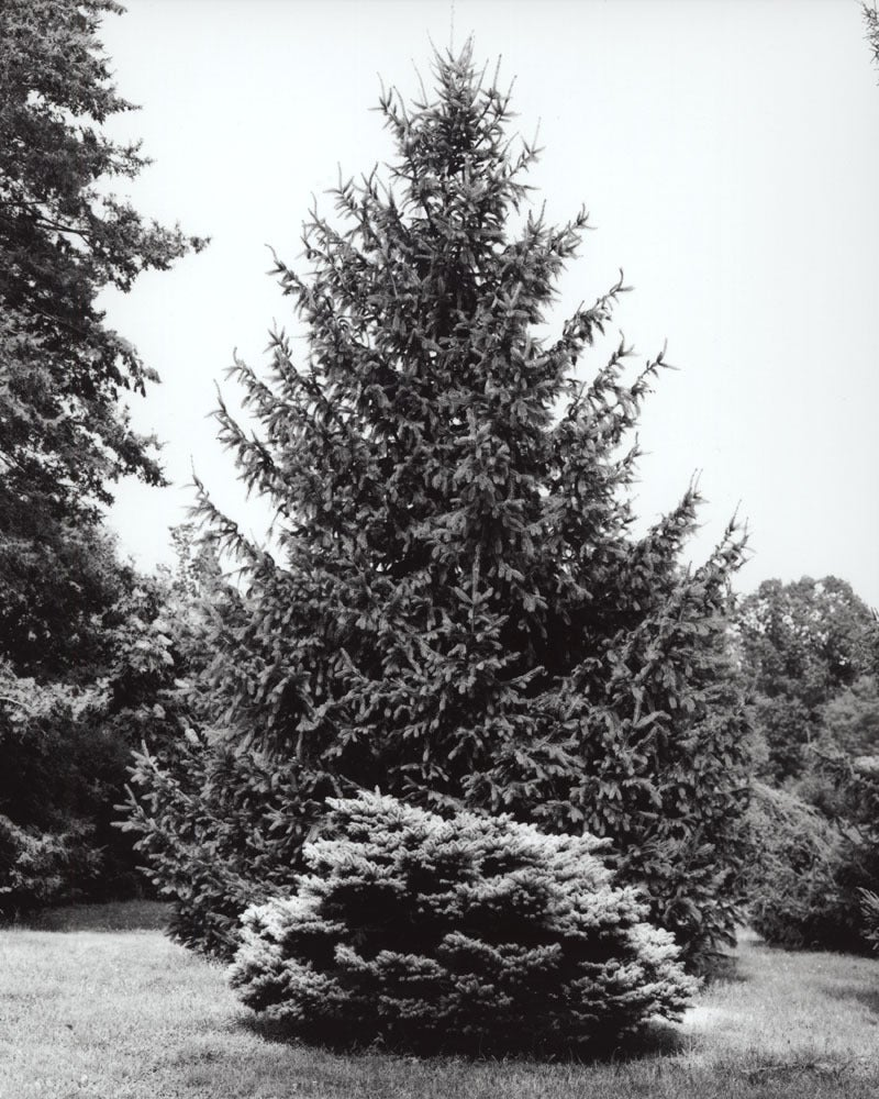 Jose Picayo Black and White Photograph - 'Montgomery' Blue Spruce, Norway Spruce