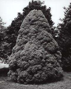 Picea glauca 'Conica' - Dwarf Alberta Spruce