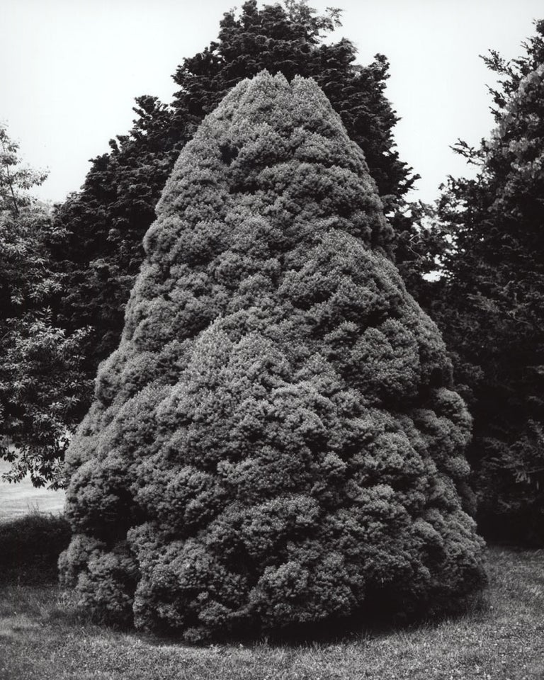 Jose Picayo Black and White Photograph - Picea glauca 'Conica' - Dwarf Alberta Spruce