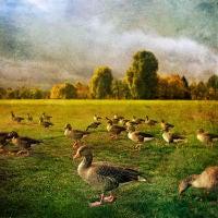Hyde Park Geese, London, England