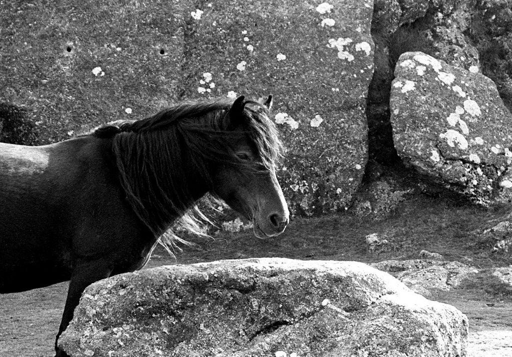 """""""Dartmoor Pony, in Haytor Rock, Dartmoor"""", Devon, UK, 2010"""