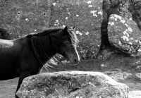 Dartmoor Pony, in Haytor Rock, Dartmoor, Devon, UK