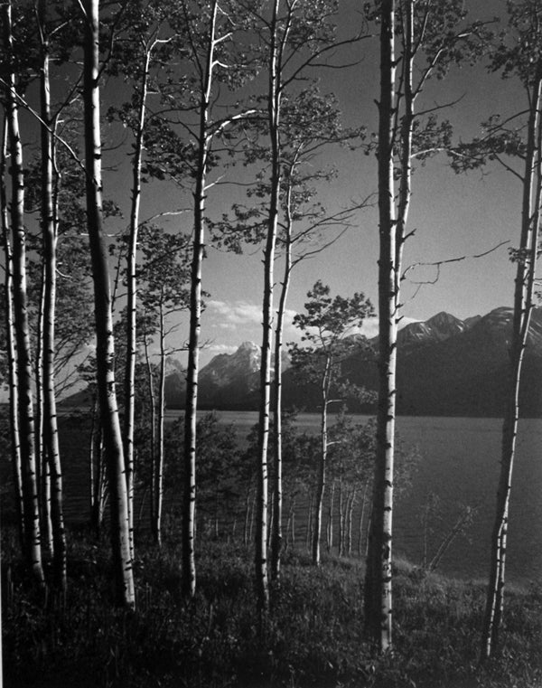 Ansel Adams Black and White Photograph - Aspen Grove, Jackson Lake, Wyoming