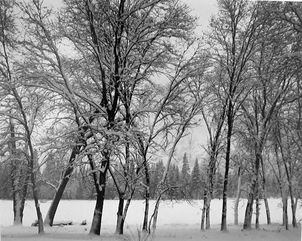 Ansel Adams Black and White Photograph - Young Oaks, Winter