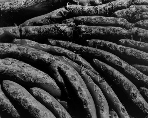 Edward Weston Black and White Photograph - Cactus, 20C