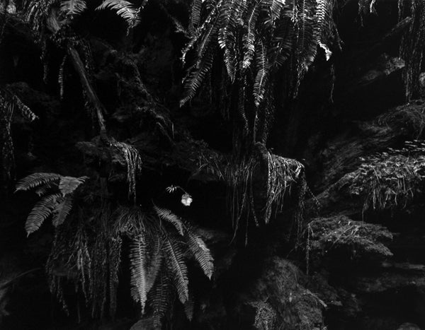 Edward Weston Still-Life Photograph - Fern in Redwoods, 1937