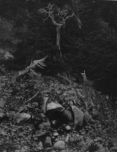 Cypress and Stone Crop, Point Lobos, 1946